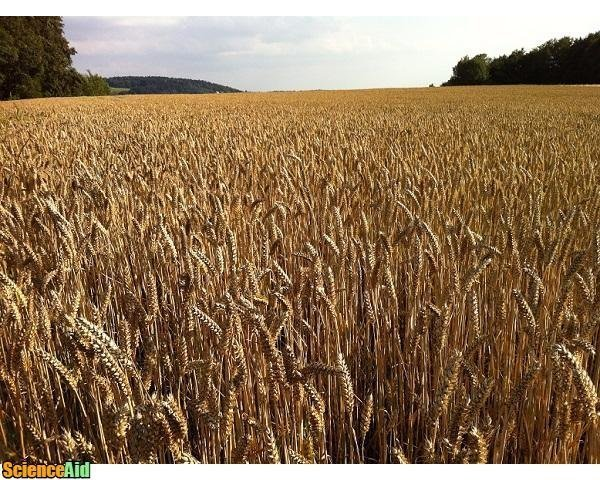 Cereal Grains: The Structure & Uses of Wheat - ScienceAid