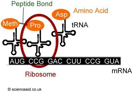 diagram of translation showing tRNA, ribosomes, amino acids et cetera