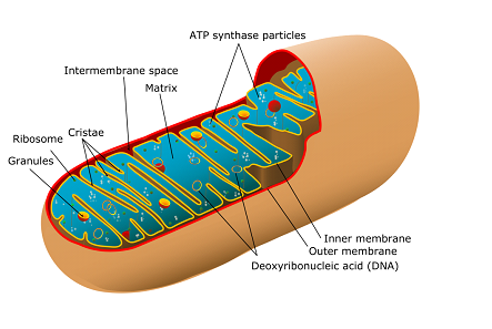 The Structure and Function of Mitochondria.PNG