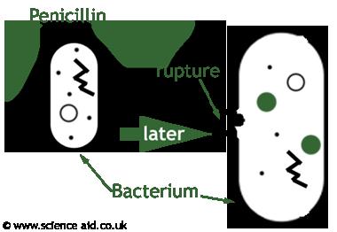 antibiotics  function  bacterial interaction  u0026 antibiotic