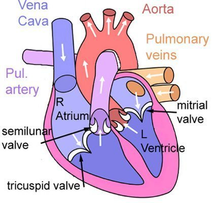 The heart and lungs scienceaid diagram of the heart ccuart Image collections