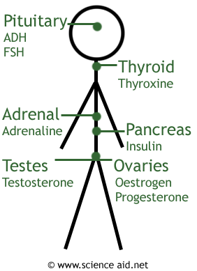 the location of the major hormonal glands in the body and which hormones they produce