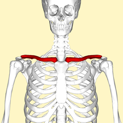 clavicle2.png