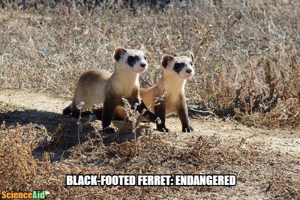 meme Black-Footed Ferret Endangered 18433.jpg