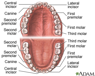 Dental morphology pdf