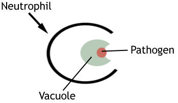 Diagram depicting phagocytosis