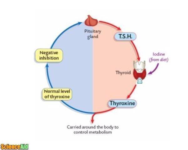 Endocrine System Function Scienceaid