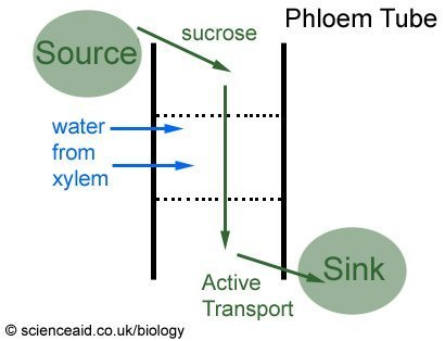 diagram showing the process of translocation