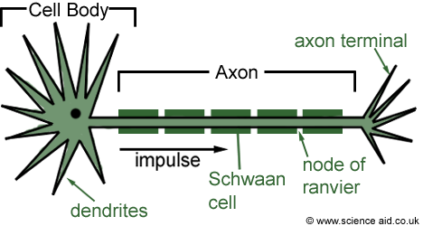 diagram of a myelinated motor neurone