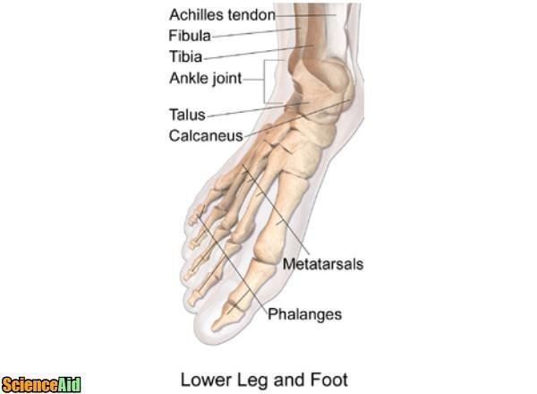 Bones of the Human Leg and Foot - ScienceAid