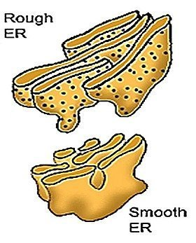 endoplasmic reticulu-smooth-er rough-er (1)-12-.jpg