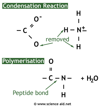 condensation reaction to form peptide bond