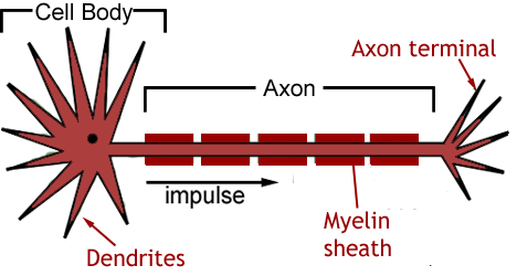 a labelled diagram of a motor neurone