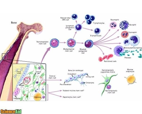 Understanding Stem Cells 25920.jpg