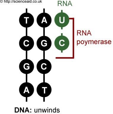 transcription, RNA polymerase, RNA