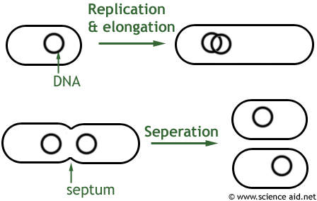 diagram showing the stages of binary fission
