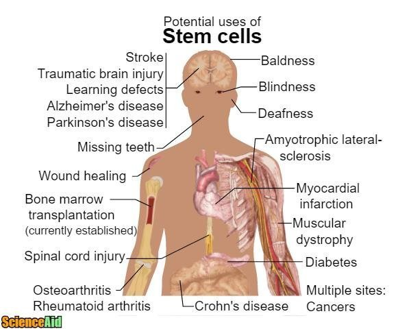 Understanding Stem Cells 94241.jpg
