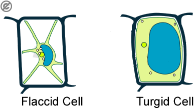 how a plant cell reacts to being in different concentrations of water.