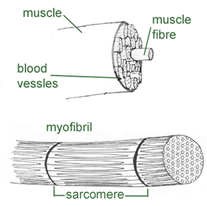 diagram of the muscles