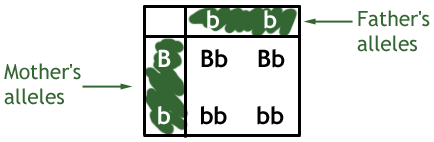 example of a punnett square for monohybrid inheritance of eye colour