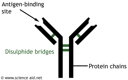the structure of an antibody