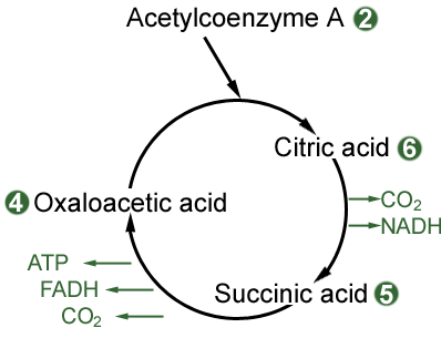 diagram of the Krebs Cycle