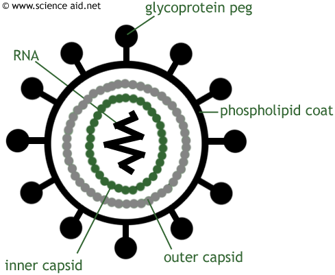 diagram of the HIV virus