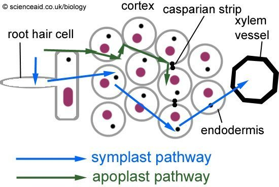 symplast and apoplast routes