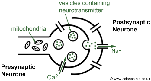 detailed structure of a synapse