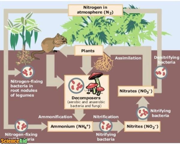 Nutrient Cycles Recycling in Ecosystems The Carbon and Nitrogen – The Nitrogen Cycle Worksheet Answers