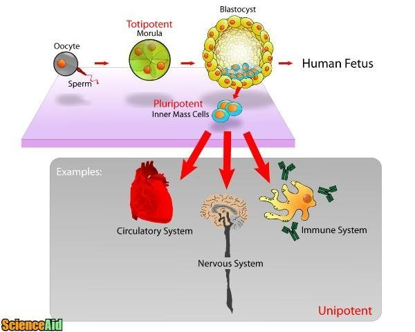 Understanding Stem Cells 81098.jpg