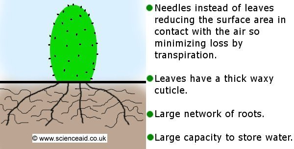 drawing of a cactus, above and below ground