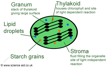 annotated diagram of a chloroplast