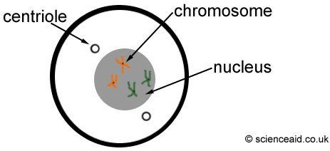 diagram of prophase in cell cycle