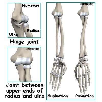 Bones of the Shoulder, Arm, and Hand - ScienceAid
