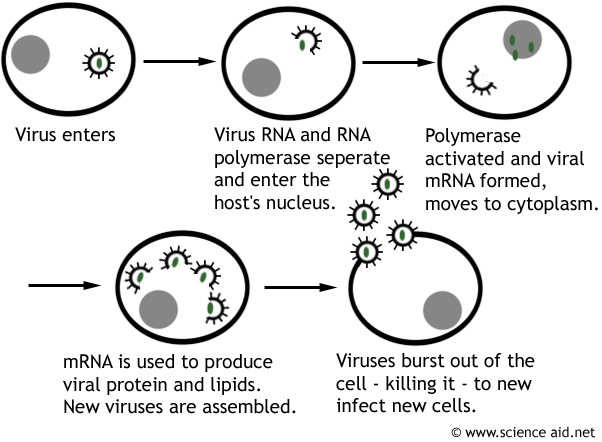 diagram of the replication of viruses.