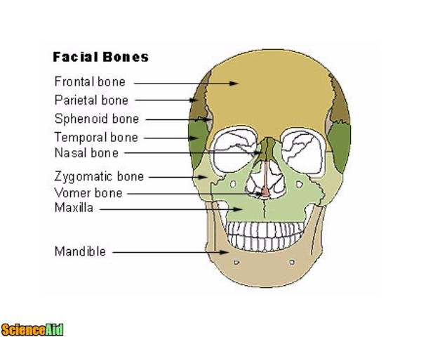 bones of the human skull - scienceaid, Human Body