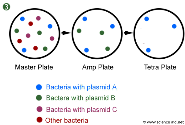 identifying bacteria with replica plating