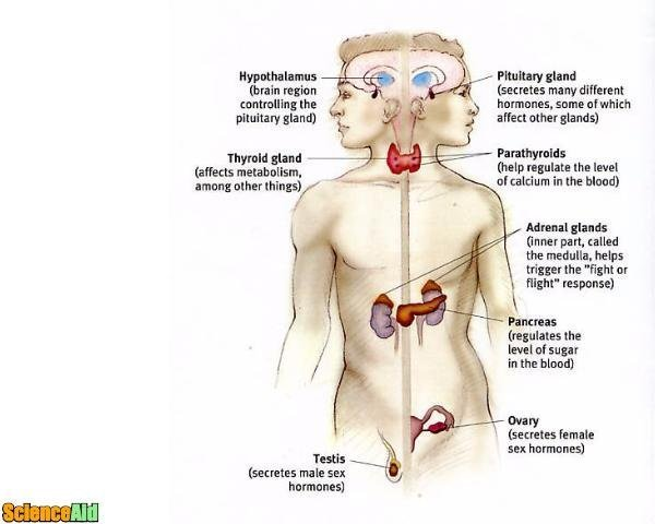 Endocrine System Function Scienceaid