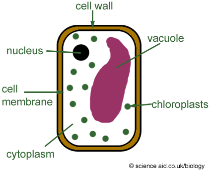 Plant cells scienceaid a diagram of a typical plant cell ccuart Images