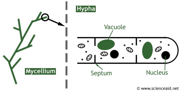 diagram showing the structure of a fungus with hyphae, sporangium and mycelium