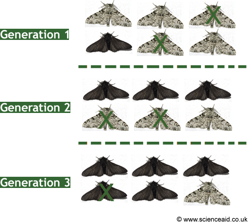 illustration of the evolution of the peppered moth