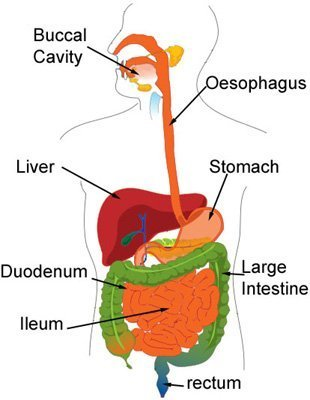 the digestive tract or alimentary canal