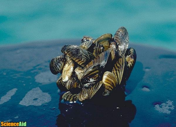 Cause and History of the Zebra Mussel Invasion 90137.jpg