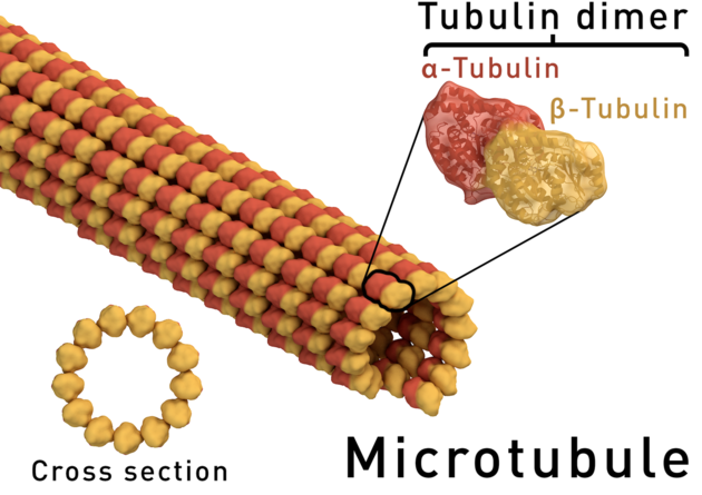 Microtubule structure.png