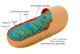 the Structure and Function of Mitochondria