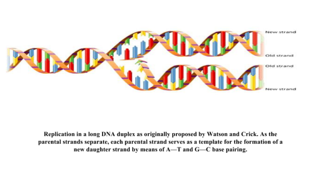 DNA rep.PNG