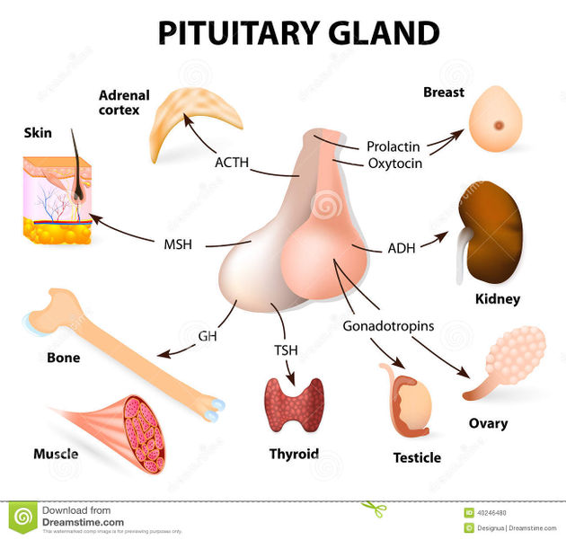 Pituitary Gland Specifics Functions Diseases Scienceaid