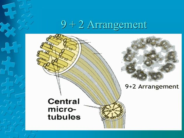 The Eukaryotic Cell Cytoskeleton