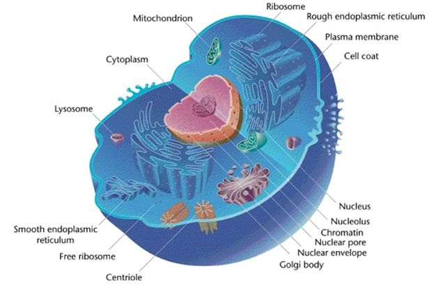 Eukaryotic Cell animal.jpg